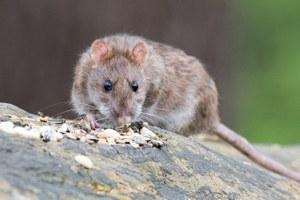 Comment lutter contre les rats ?